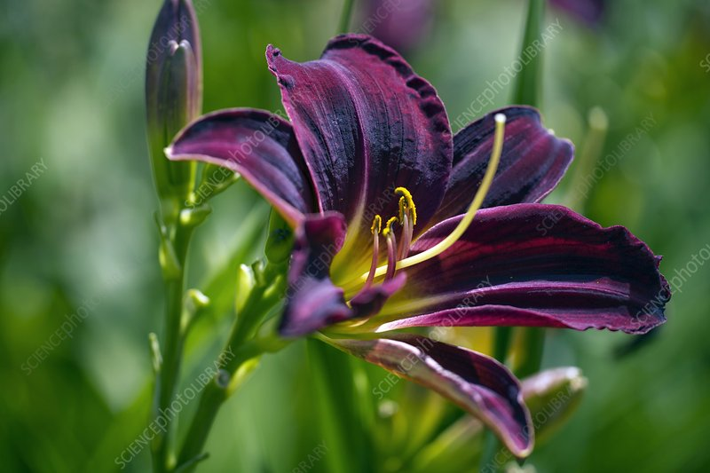 Hemerocallis 'Apple Court Damson'