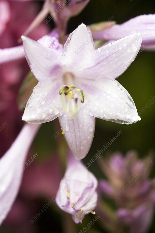 Plantain lily flowers (Hosta sp.)