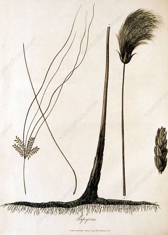 18th century engraving of papyrus plant