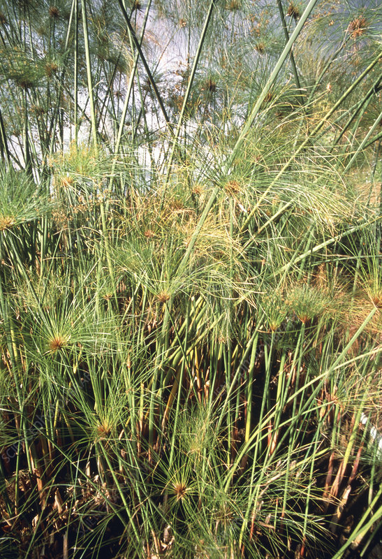 View of papyrus plants (Cyperus papyrus)