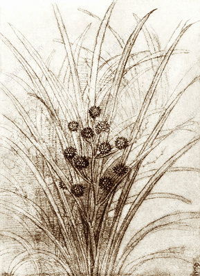 Leonardo da Vinci's rushes in flower