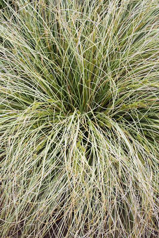 Sedge (Carex 'Frosted Curls'