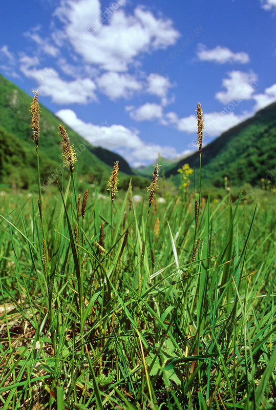 Distant sedge (Carex distans)