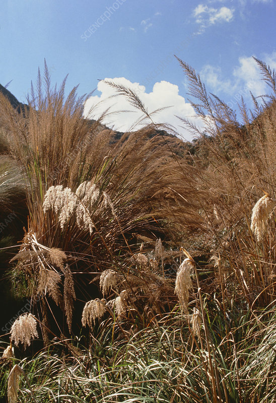 Pampas grass growing wild