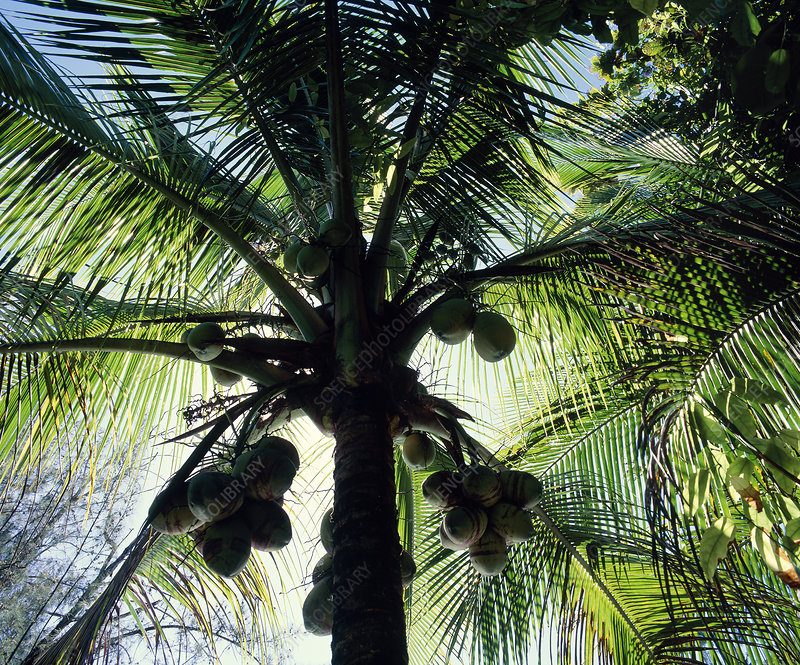 Coconut palms bearing fruit