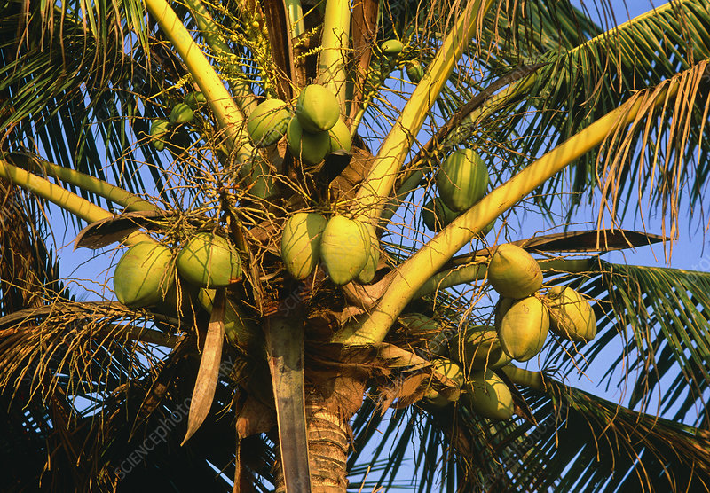 Coconut palm bearing fruit