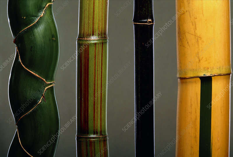 Four types of bamboo, Phyllostachys sp.