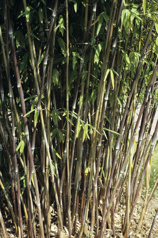 Fountain bamboo canes