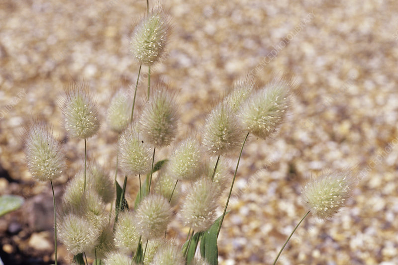 Bunny tail grass seed heads