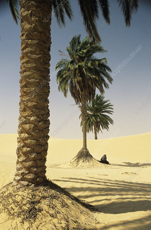 date palm in desert. Date palms