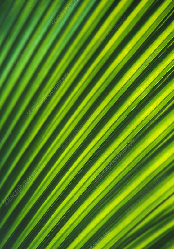 Yarey palm leaf (Copernicia sp.)