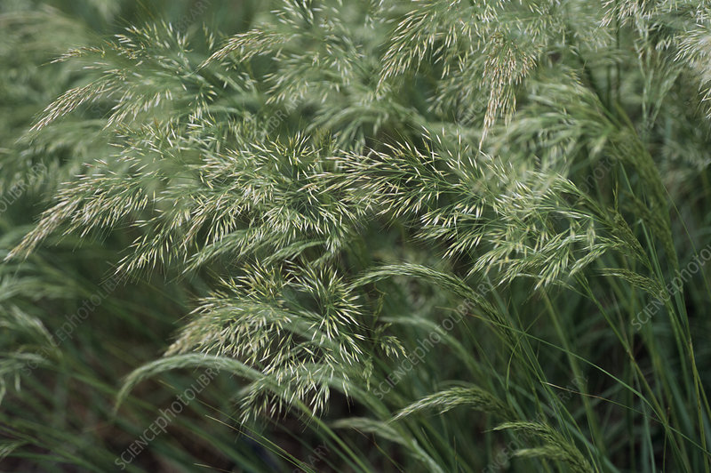 Spear grass (Achnatherum calamagrostis)