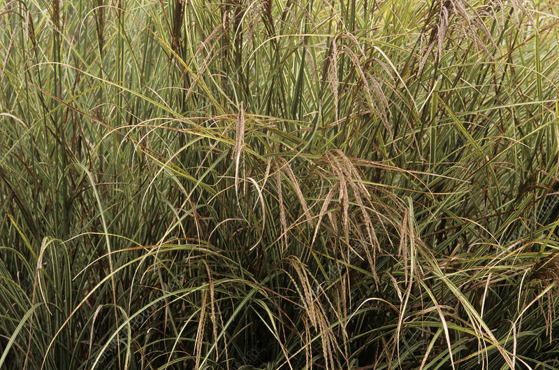 Miscanthus 'Morning Light' grass