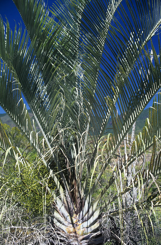 Triangle palm (Neodypsis decaryi)
