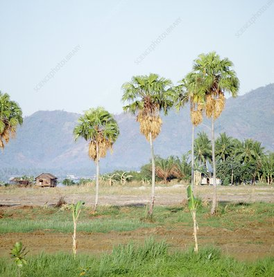 Cabbage leaf palm trees