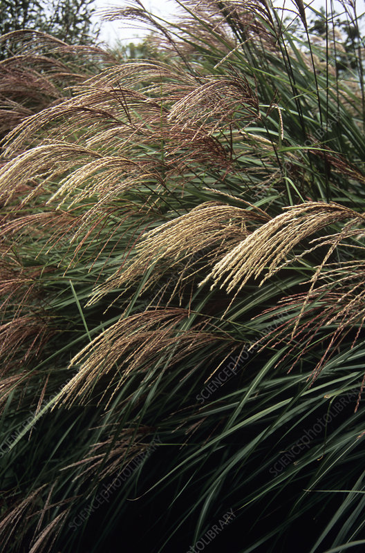 Miscanthus 'Grosse Fontane'