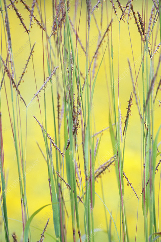Little Bluestem Grass