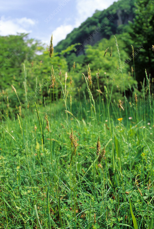 Sweet vernal grass, Anthoxanthum odoratum