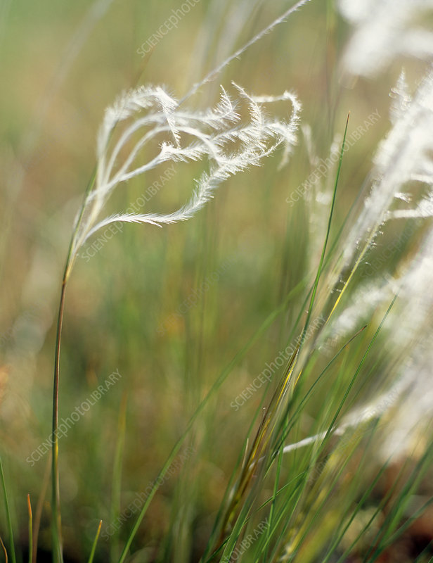Feather grass (Stipa pennata)