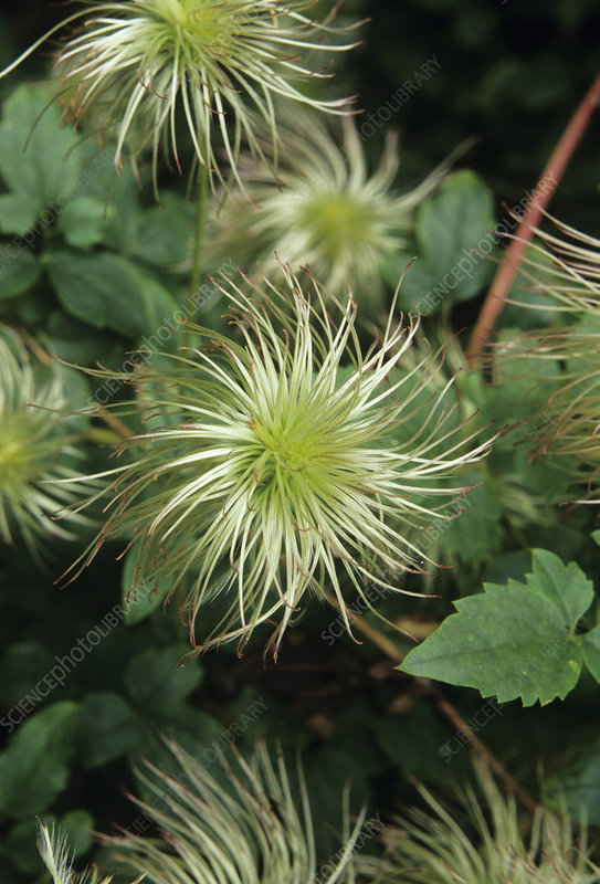 Clematis seed heads