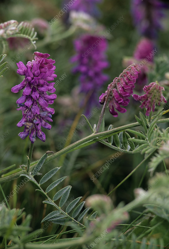 Tufted Vetch flowers