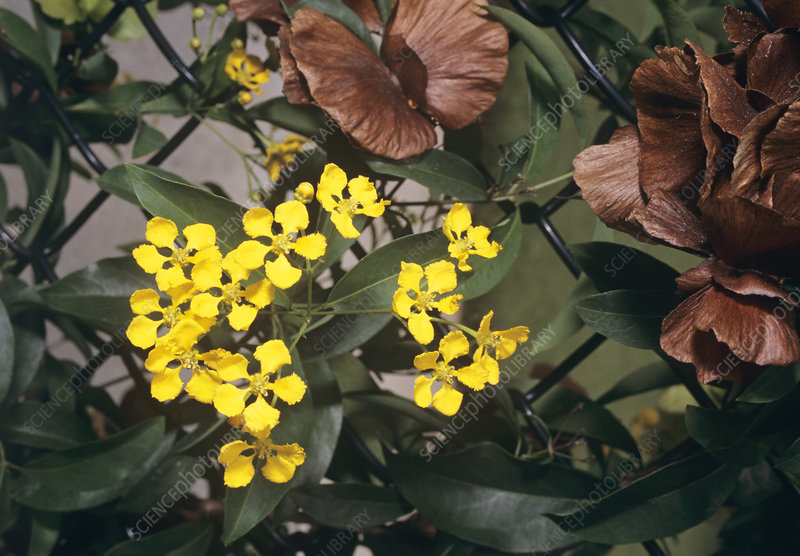 Yellow butterfly vine (Mascagnia sp.)