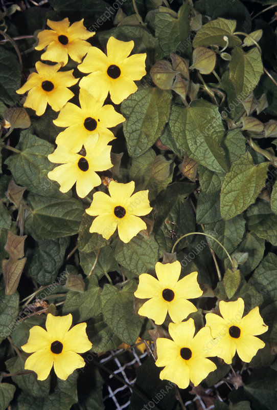 Black-eyed Susan vine flowers