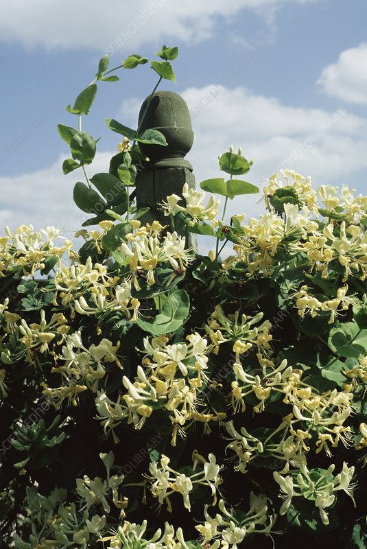 Honeysuckle 'Anne Fletcher' flowers