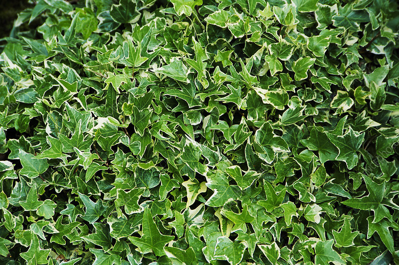 English ivy (Hedera helix 'Kolibri')