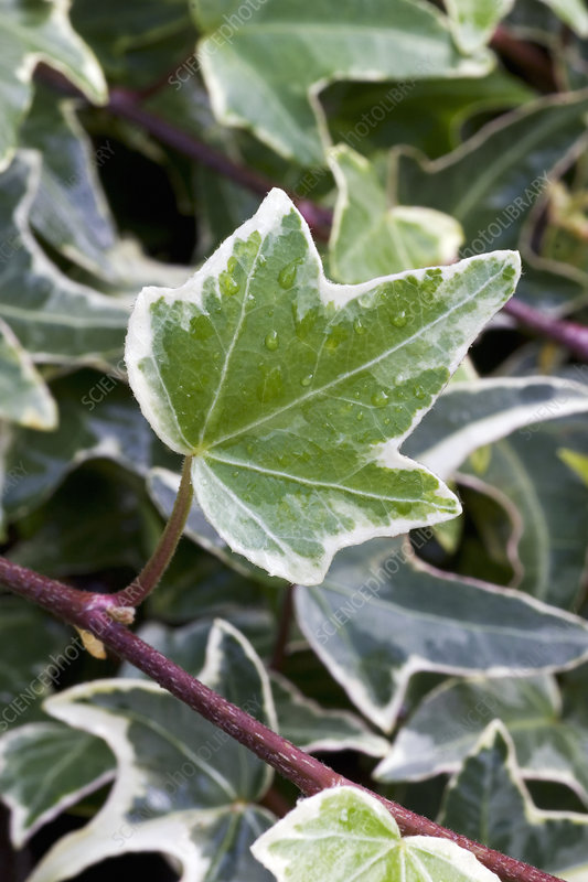 Ivy (Hedera helix 'Silver King')