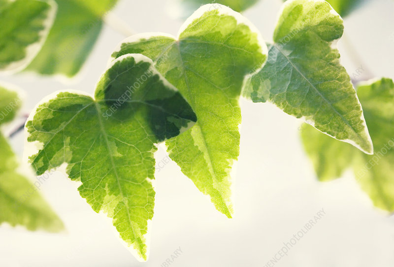 Variegated ivy (Hedera helix)