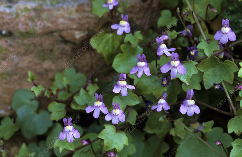 Ivy-leaved toadflax (Cymbalaria muralis)