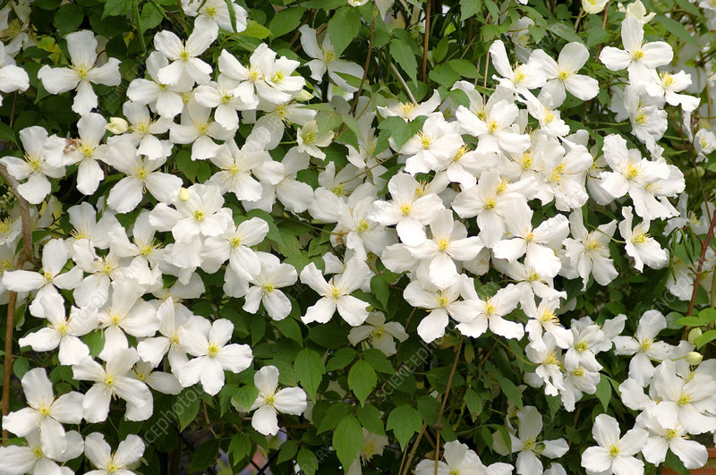 Clematis flowers (Clematis montana)