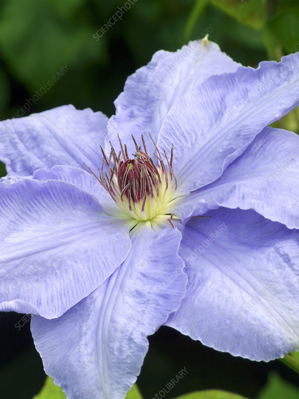 Clematis (Clematis 'Will Goodwin')