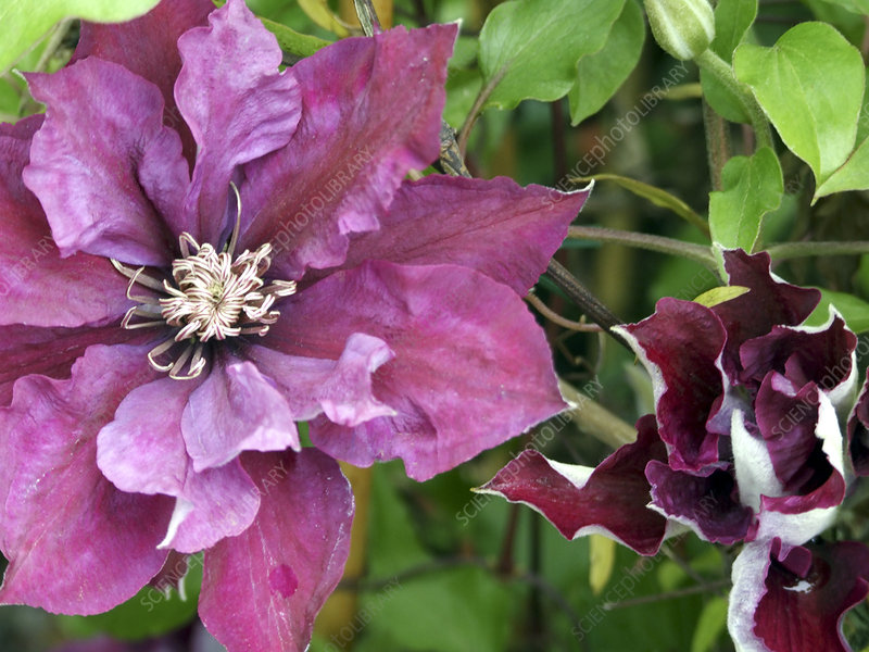 Clematis 'Picardy'