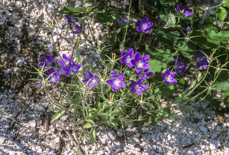 Flowering bellflower, Campanula