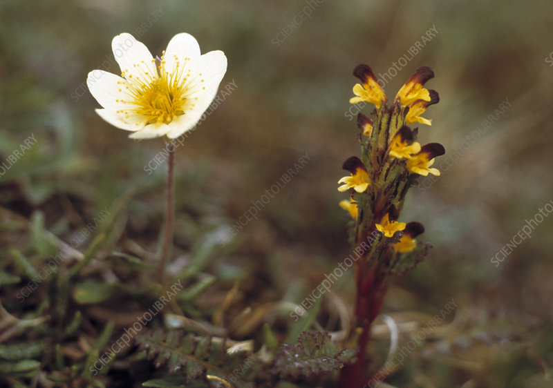 Mountain avens and upright lousewort