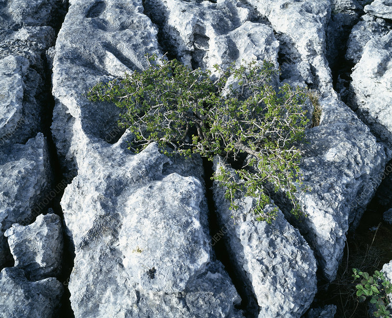 Stunted tree on limestone pavement