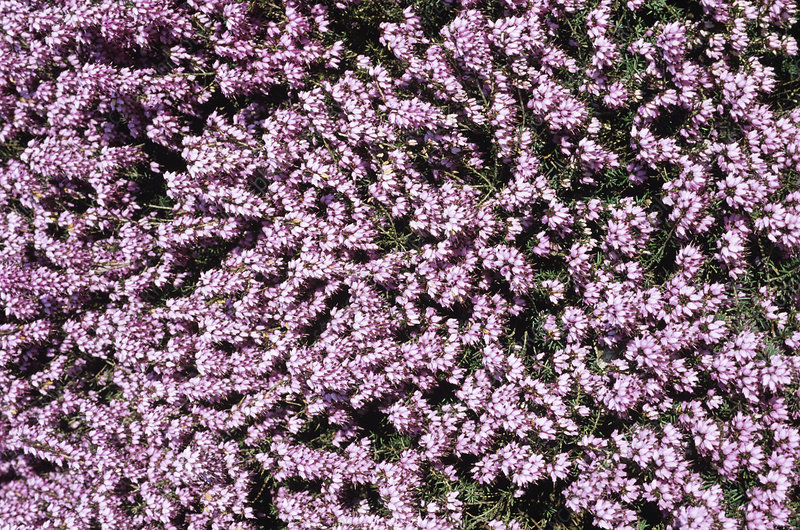 Furzey heather flowers