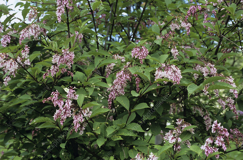 Rosea lilac flowers