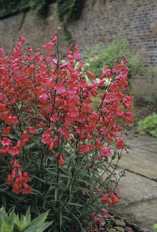 Penstemon 'Garnet' flowers