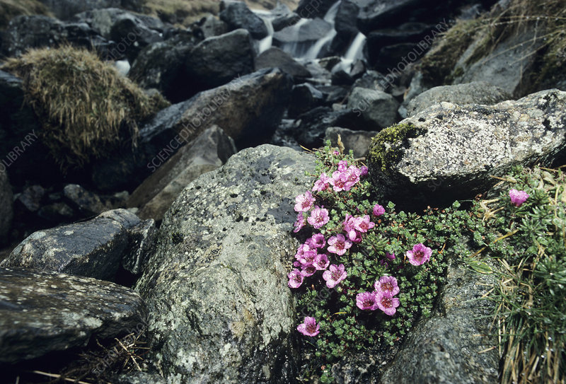 Purple saxifrage flowers