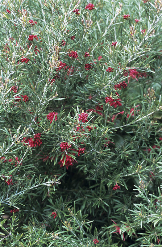 Rosemary Leafed Grevillea