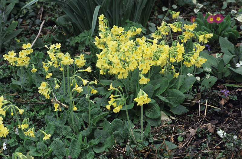 Oxlips