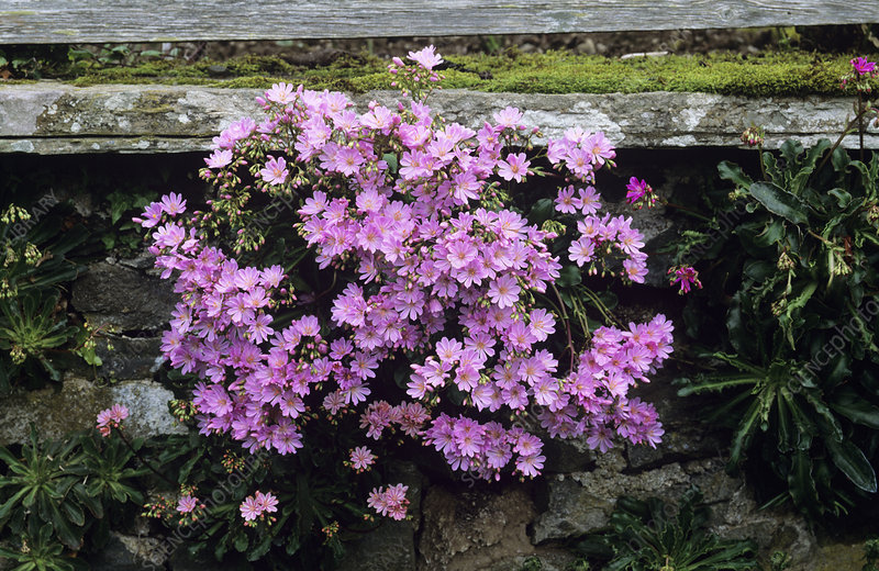 Lewisia 'Ashwood Strain' flowers