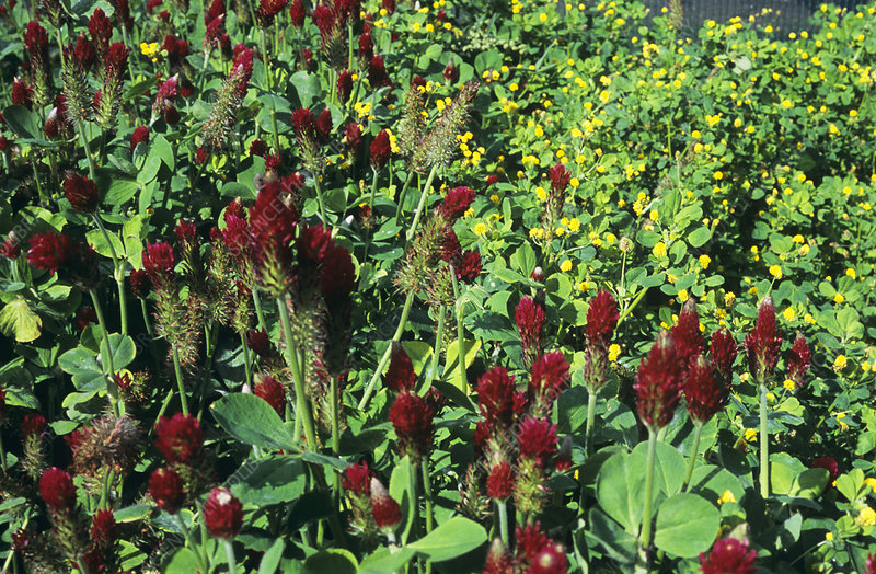 Crimson clover and black medick flowers