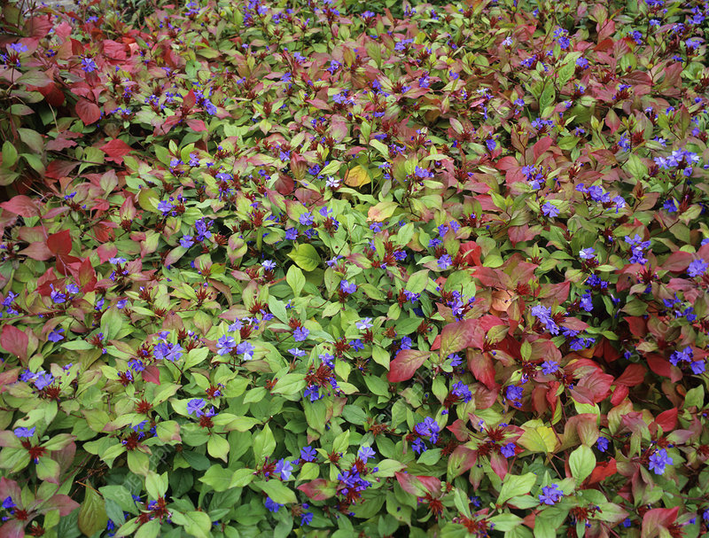 Leadwort flowers