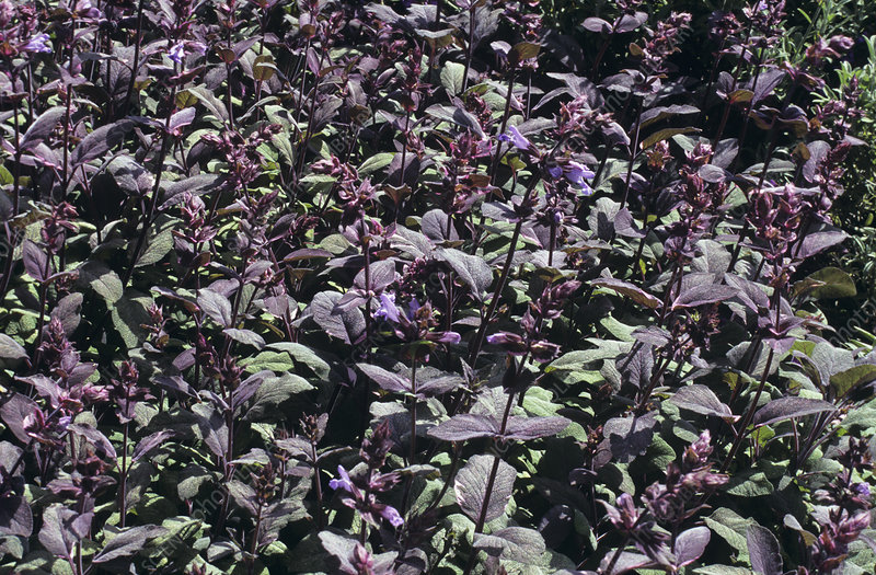 Sage flowers (Salvia 'Purpurascens')