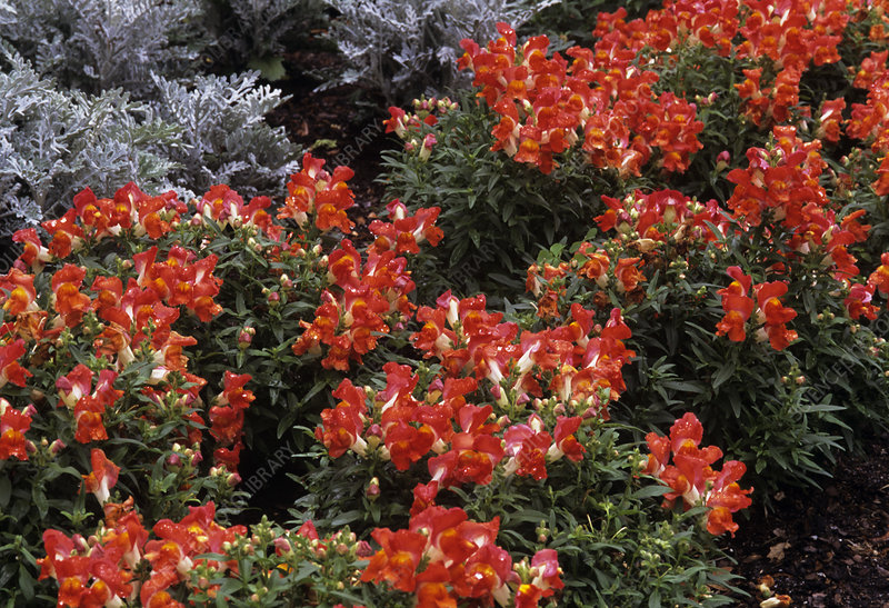 Snapdragon and Dusty Miller