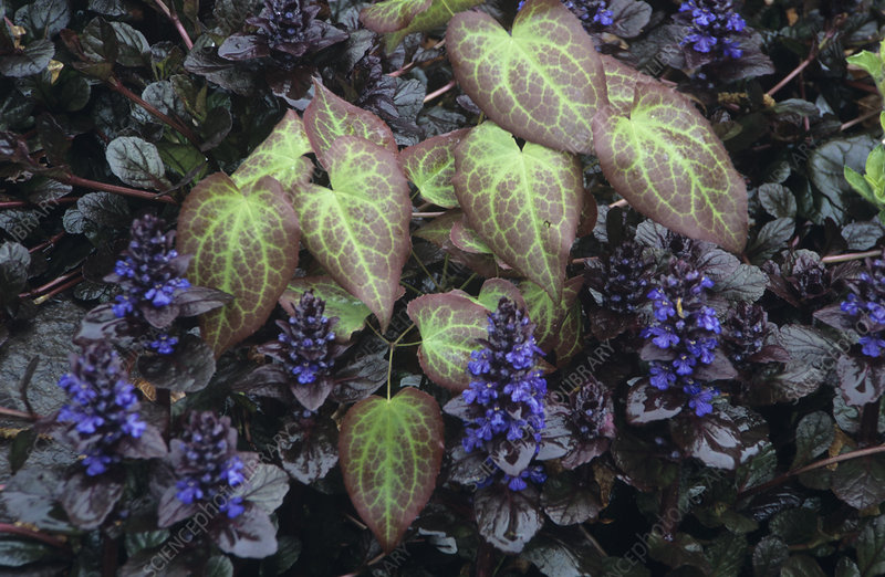Barrenwort and bugle plants